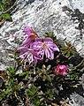 Rhodothamnus chamaecistus RF.jpg