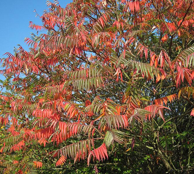 feuilles du vinaigrier en début d'automne