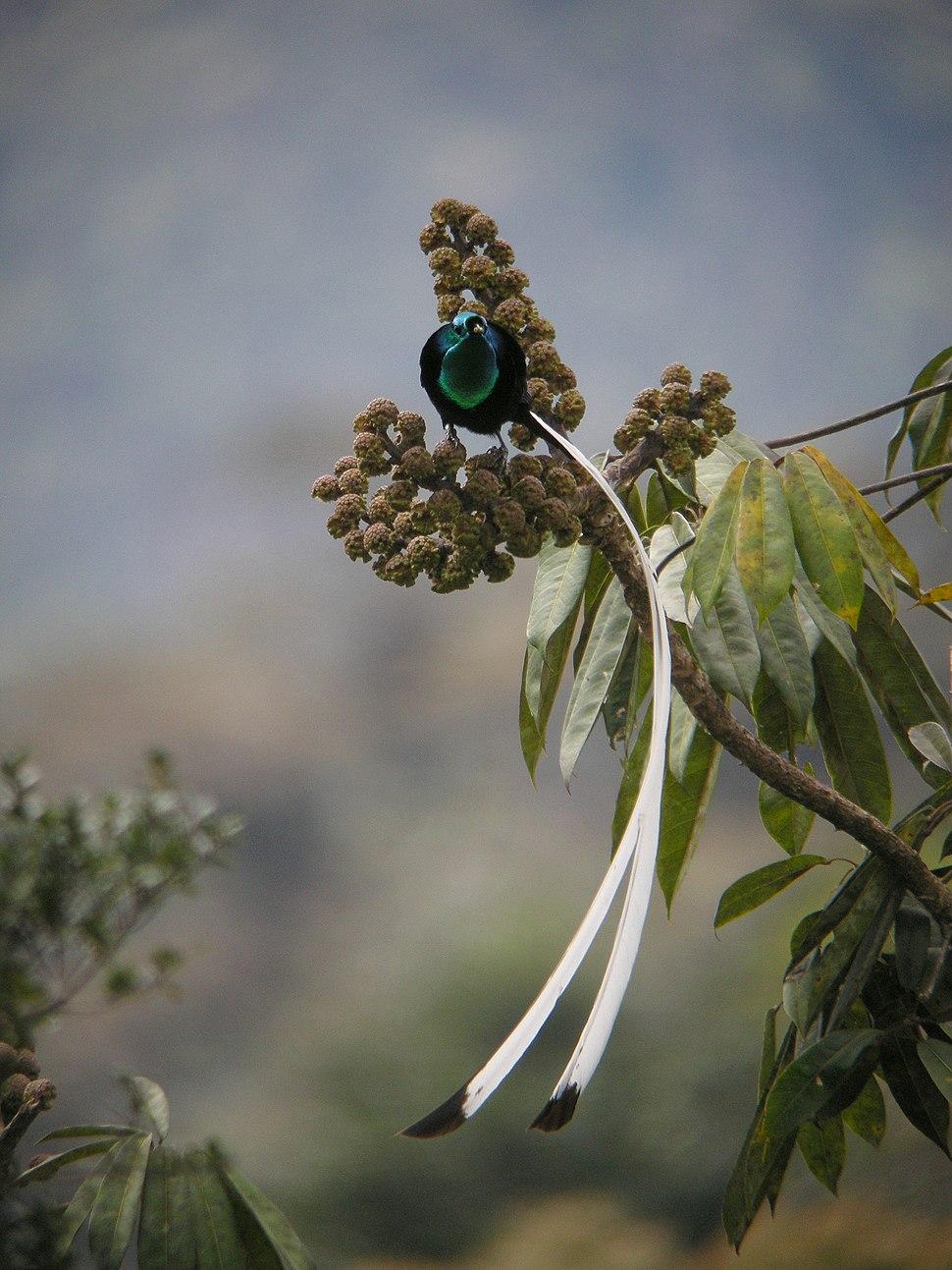 Ribbon-tailed Astrapia