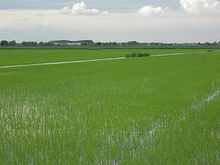 Rice fields in Jolanda di Savoia Italy.JPG