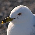 Ring-billed Gull (Larus delawarensis) - Port au Choix, Newfoundland 2019-08-19 (02).jpg