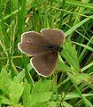 Ringlet. Aphantopus hyperantus - Flickr - gailhampshire.jpg