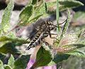 Robber fly. Asilidae - Flickr - gailhampshire.jpg