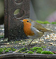 Robin on metal (11013661993).jpg