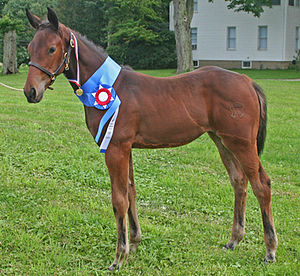 Filly - A weanling Warmblood filly