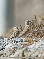 Rock Sparrow (Petronia petronia) (45581113064).jpg
