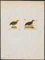 Rollulus oculea - 1700-1880 - Print - Iconographia Zoologica - Special Collections University of Amsterdam - UBA01 IZ17100277.tif