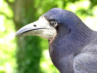 Rook (bird) - Rook at the Cafe, Marwell Zoo
