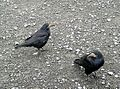 Rooks (Corvus frugilegus) in parking lot at Cliffs of Moher, near Doolin, County Clare, Ireland - Flickr - Jay Sturner.jpg