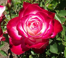 Rosa-cherryparfait.jpg