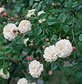 Clusters of flat-petaled white roses and deep pink rosebuds with green foliage