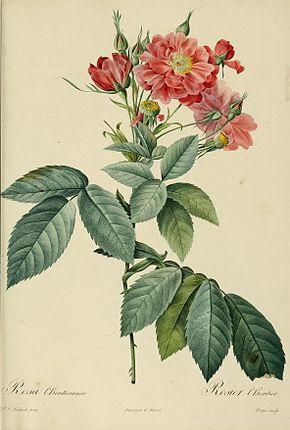 Rosier de boursault wikip dia - Dessin de rosier ...