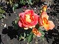 Rosa Piccadilly 2018-07-16 6527.jpg