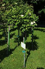 Rosa Winchester Cathedral plant.jpg