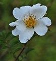 Rosa clinophylla2.jpg