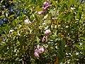 Rosa multiflora Thunb. (33226004165).jpg