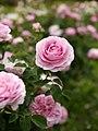 Rose, Lilac Rose, バラ, ライラック ローズ, (13150412723).jpg