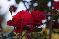 Rose, Sympathie - Flickr - nekonomania.jpg