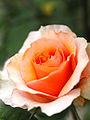 Rose, Versigny, バラ, ヴェルシーニ, (21145395048).jpg