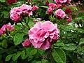 Rose Mulan バラ ムーラン (6943865213).jpg