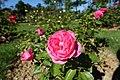 Rose garden @ Parc de Bagatelle @ Paris (27766364873).jpg