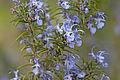 Rosmarinus officinalis - Rosemary.jpg