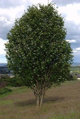Rowan tree.jpg