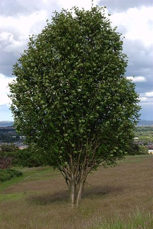 Rowan tree, also known as Mountain Ash (Sorbus...