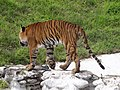 Royal bengal tiger 1.jpg