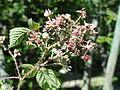 Rubus hystricopsis - Botanischer Garten, Frankfurt am Main - DSC02443.JPG