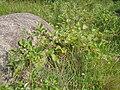 Rubus parvifolius 1.JPG