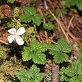 Rubus pedatus (flower s5).jpg