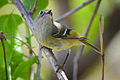 Ruby-crowned Kinglet (Regulus calendula) (16514592594).jpg