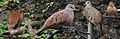 Ruddy Ground Dove From The Crossley ID Guide Eastern Birds.jpg