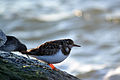 Ruddy Turnstone (Arenaria interpres) (16023776462).jpg