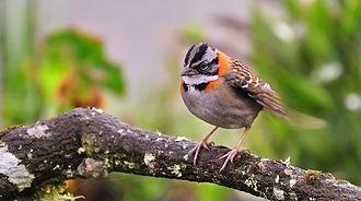 Rufous-collared sparrow - Adult in Machu Picchu, Peru