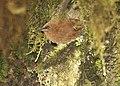 Rufous Wren (Cinnycerthia unirufa).jpg