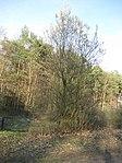 Ruhland, Verbindungsstraße von der Ortrander Str. über die Autobahn zum Forsthaus, Salweide blühend, Frühling, 03.jpg