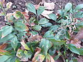 Ruscus hypoglossum Kőszeg2.jpg