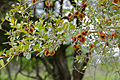 Russet Bushwillow (Combretum hereroense) (17219526989).jpg