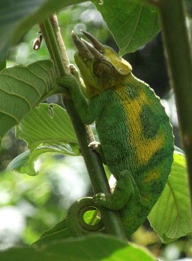Ruwenzori three-horned chameleon - whole body-cropped.jpg