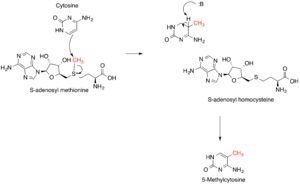 Methyltransferase - The SN2-like methyl transfer reaction. Only the SAM cofactor and cytosine base are shown for simplicity.