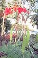 SZ 深圳 Shenzhen 羅湖 Luohu District Wenjin North Road 洪湖公園 Honghu Park Dec-2017 IX1 紅蝴蝶 Caesalpinia pulcherrima 番蝴蝶 洋金鳳 黃蝴蝶 豆科 蘇木屬 red flowers green leaves plant 10.jpg