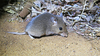 South African pouched mouse species of mammal