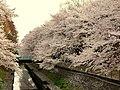 Sakura at Wadabori Koen Park In Suginami, Tokyo Japan.jpg