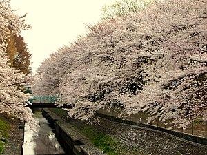 Suginami - Wadabori Koen Park, spring cherry blossom