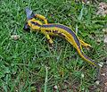 Salamandra 1.jpg