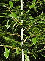 Salix daphnoides RF.jpg