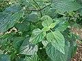 Salvia coerulea 01.jpg