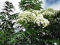 Sambucus canadensis-CSI-yercaud-salem-India.JPG